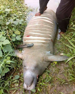 Villagers Capture Sea Cow, Share Its Meat After Slaughter In Delta State (Photos)