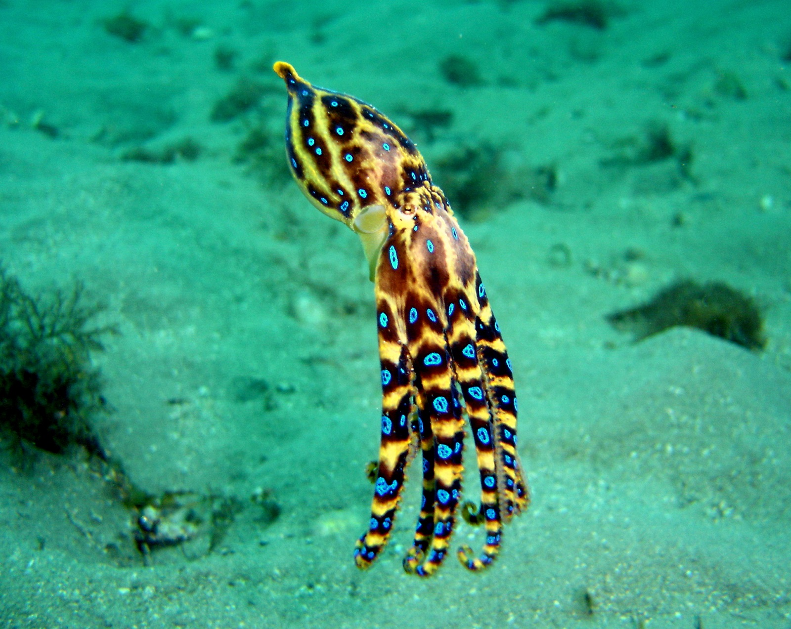 Real Monstrosities: Blue-ringed Octopus