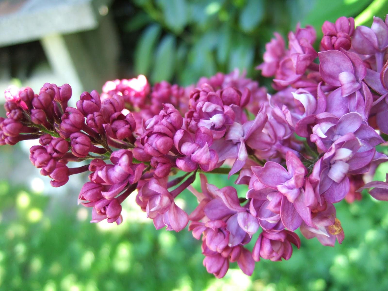 pflanzen resort flieder syringa vulgaris 39 39 39 charles. Black Bedroom Furniture Sets. Home Design Ideas