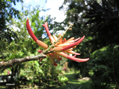 hummingbird flower, Erythrina