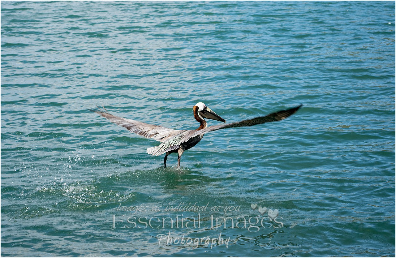Pelican taking off looks like he is walking on water after his catch