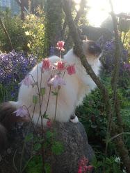 Vår vackra ragdollhona