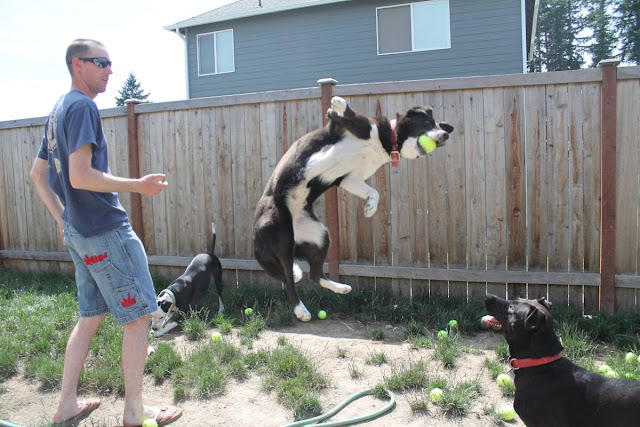 Three dogs vs 60 tennis balls (10 pics), funny dog with tennis balls, funny dog photos