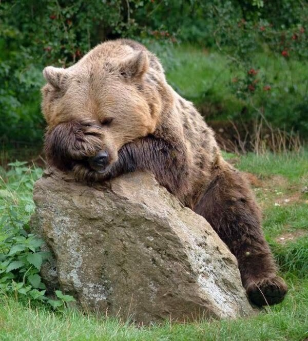 Funny animals of the week - 17 January 2014 (40 pics), exhausted bear takes a rest in a rock