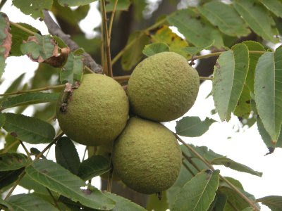 fruit warehouse black walnut juglans nigra