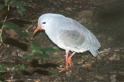 Kagu Bird Photos 1