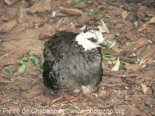 White faced Partridge
