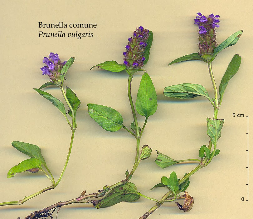 herpes-treatments-symptoms-prunella-vulgaris