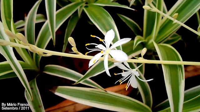 Meu cantinho verde clorofito gravatinha chlorophytum for 5 plantas decorativas