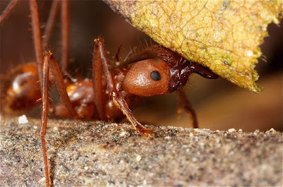 3.+Leafcutter+Ant thumb%255B3%255D 10 of Worlds Strongest Animals Compared to its Body Weight