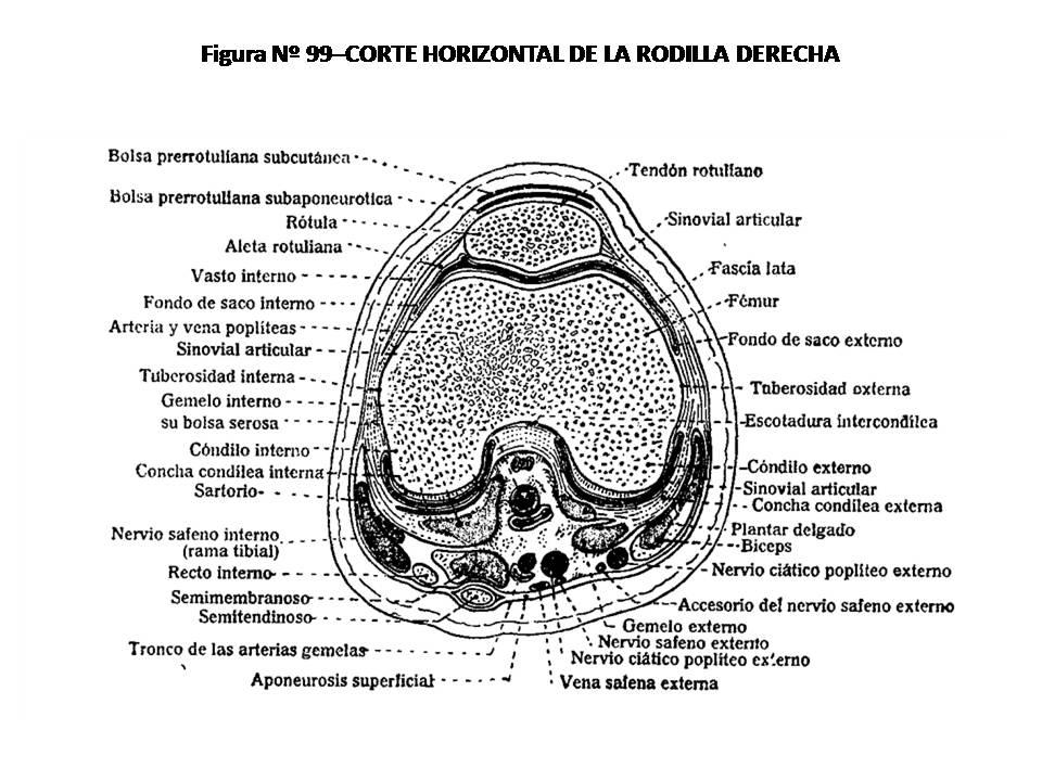 ATLAS DE ANATOMÍA HUMANA: 99. CORTE HORIZONTAL DE LA RODILLA DERECHA.