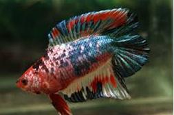gambar Panduan Budidaya ikan laga atau Ikan Hias Cupang Pelaga