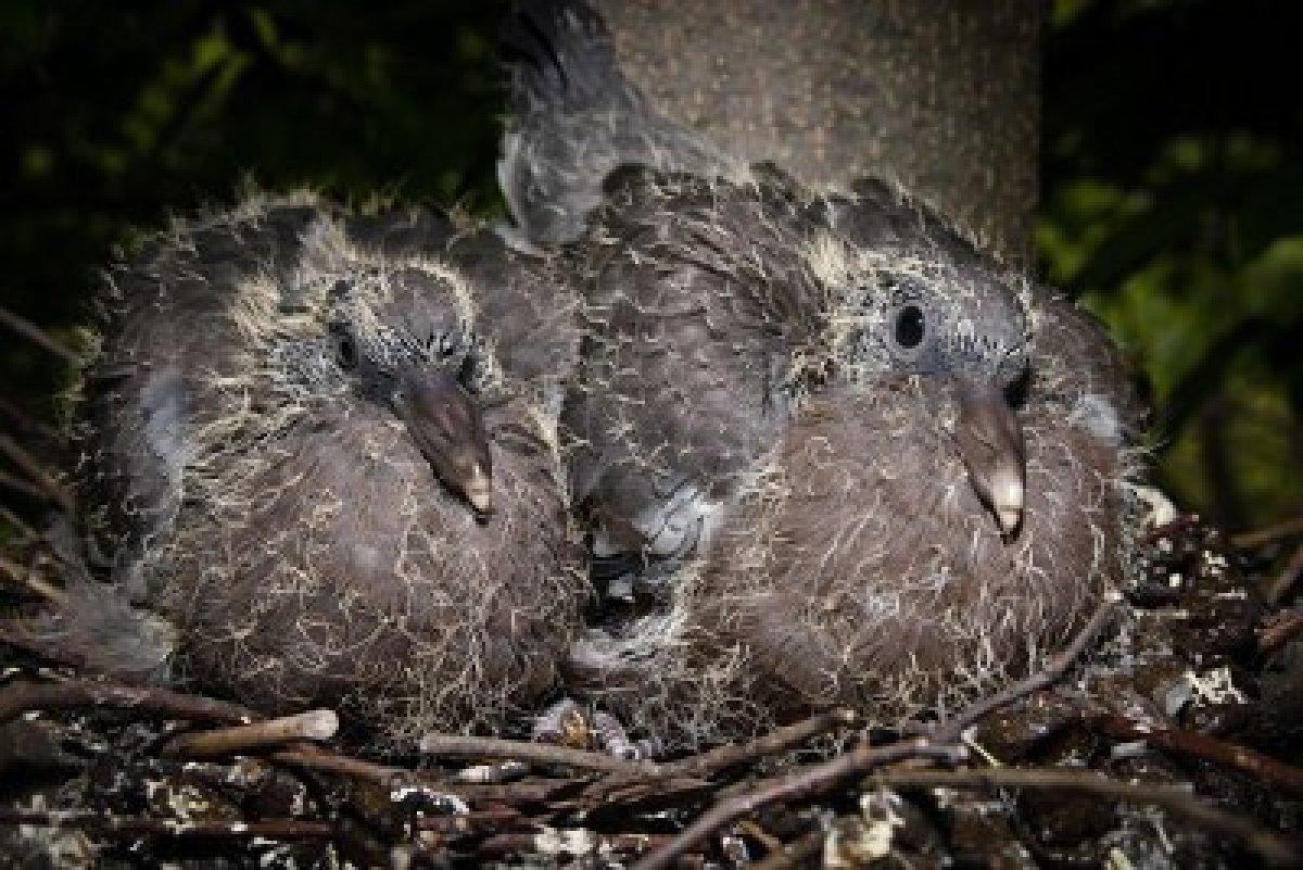 Fotos de palomas mensajeras de colores 88