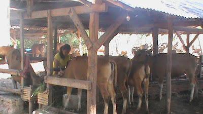 kondisi sapi hari ini