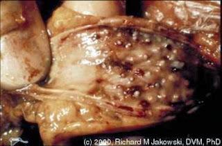 Hình 2: Các cơ quan nội tạng xuất hiện những khối u