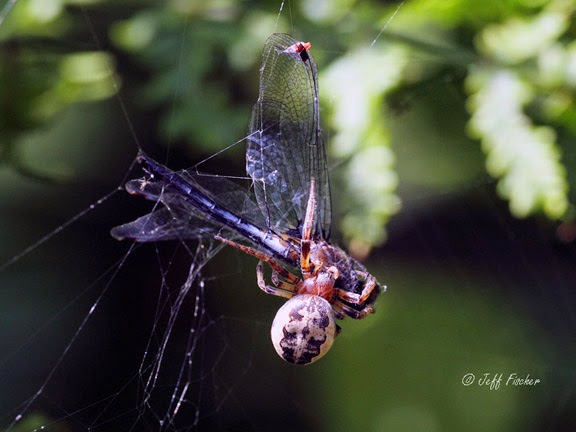 Furrow Orbweaver Captures a Whiteface Dragonfly