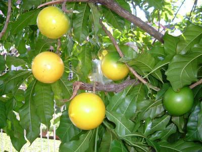 Fruit Warehouse: Abiu ( Pouteria caimito )