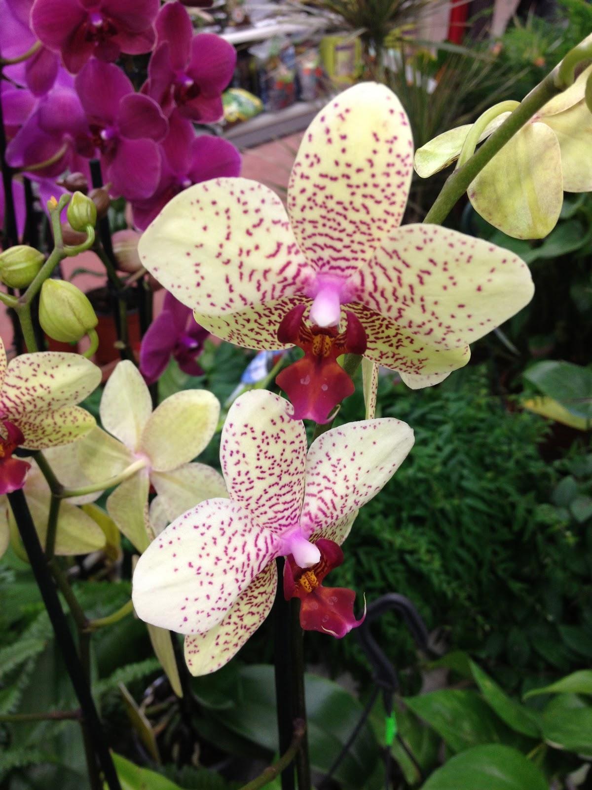 les orchid es de thomas janvier 2013. Black Bedroom Furniture Sets. Home Design Ideas