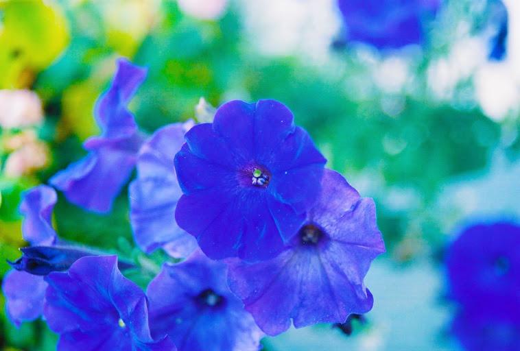Blue Petals Afloat