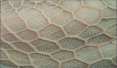 Mặt trong của dạ tổ ong