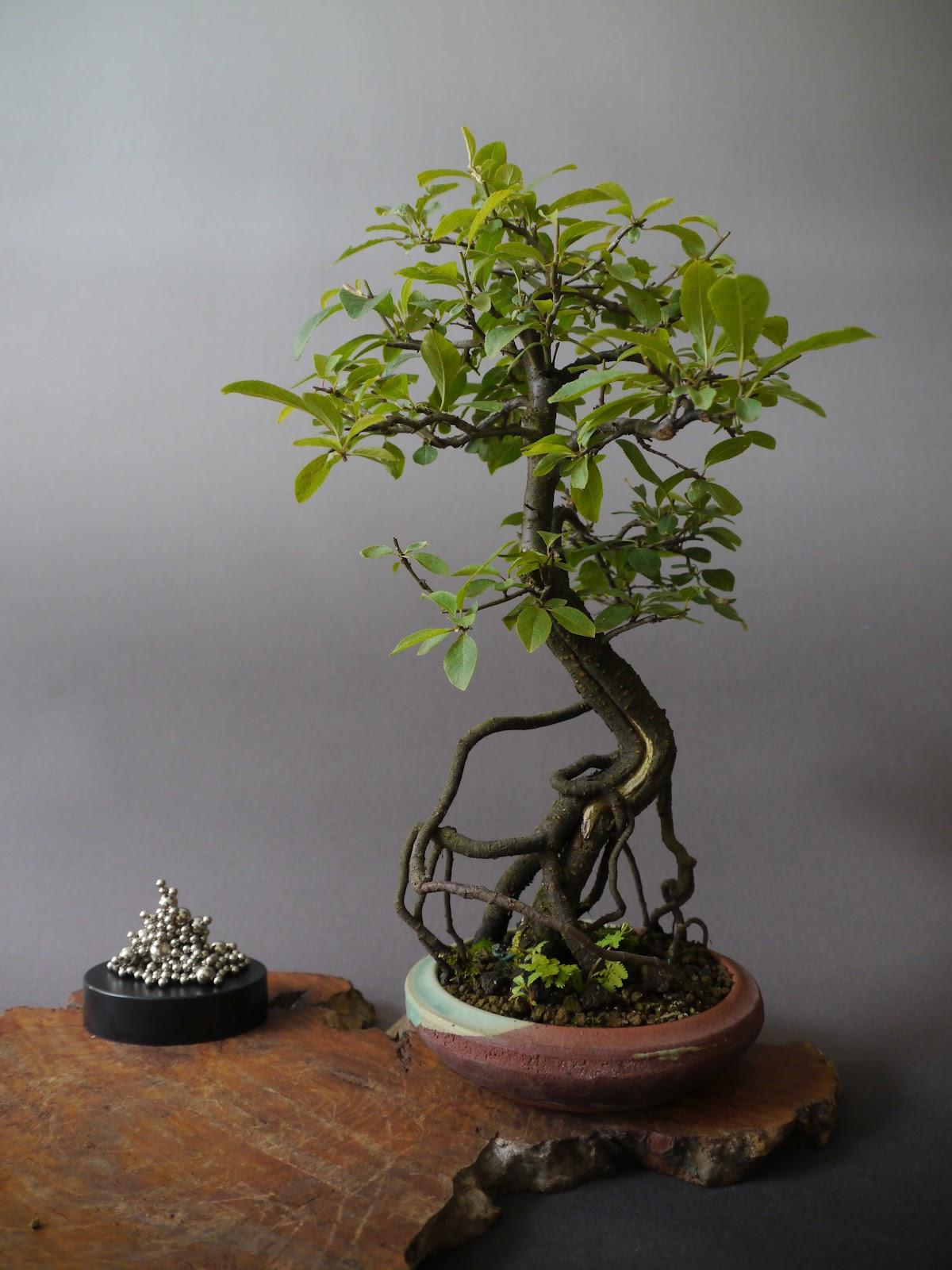 bonsai das sch nste hobby der welt prunus spinosa. Black Bedroom Furniture Sets. Home Design Ideas