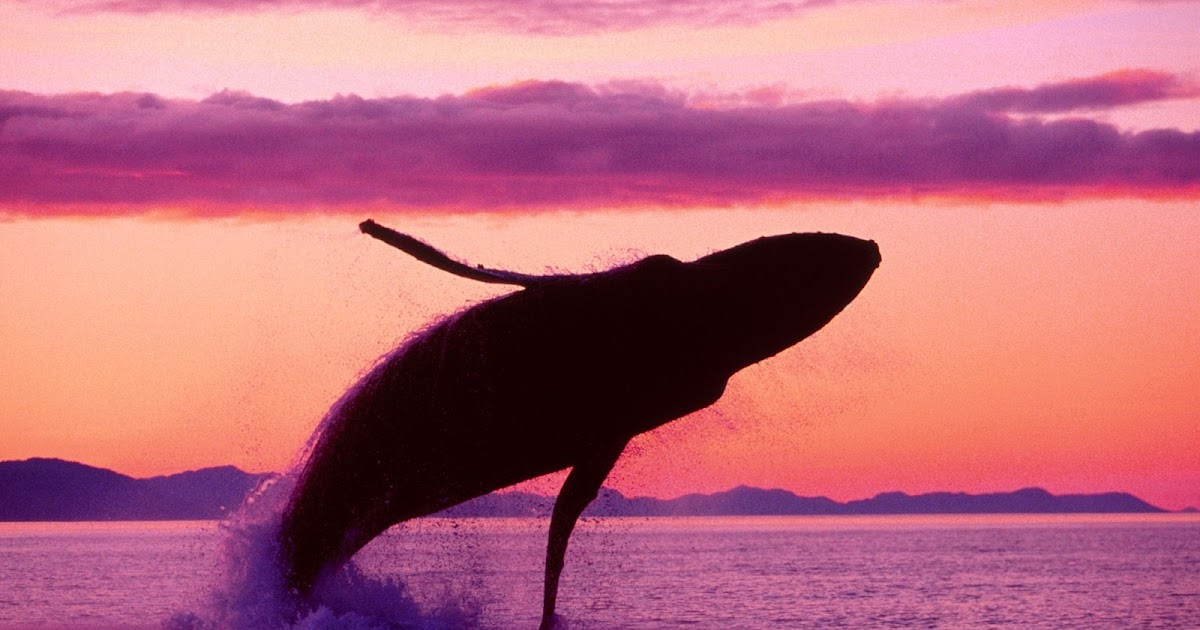 Animal Photography: Blue Whale jumping