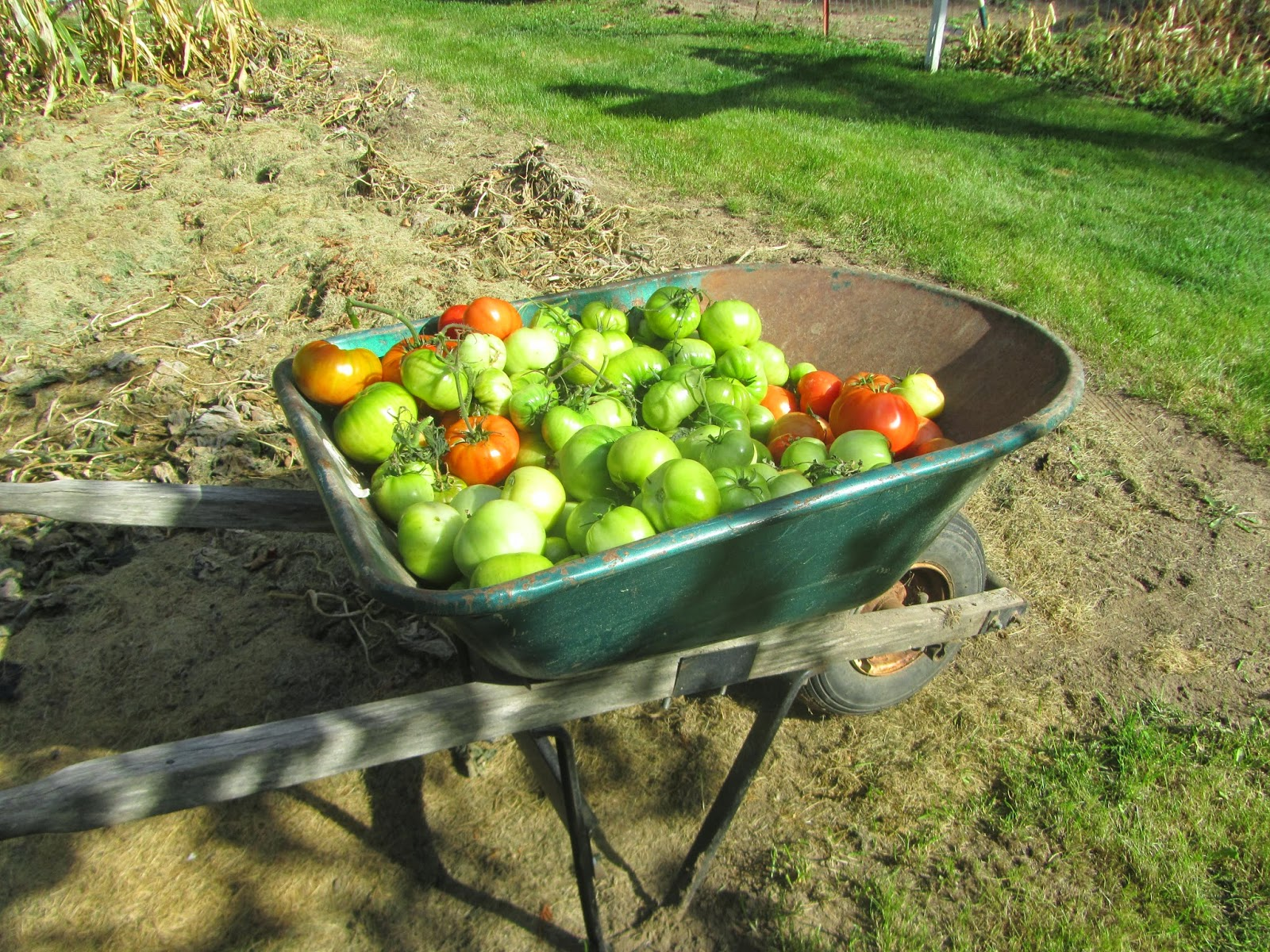 Wheel barrow full of red & green tomatoes