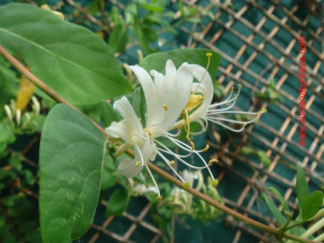 Flora urbana de getafe madreselva - La madreselva ...