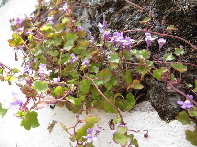 Flores pequenas que crescem em paredes e muros. Foto macro