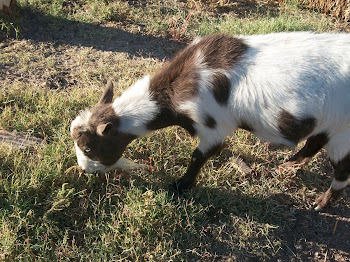 "New ""Billy"" goat"