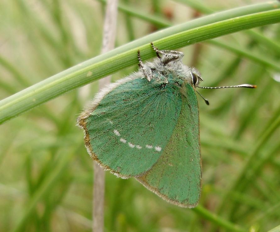mariposa diurna descansando