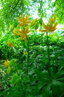 'L. hansonii' Lilium at Missouri Botanical Garden