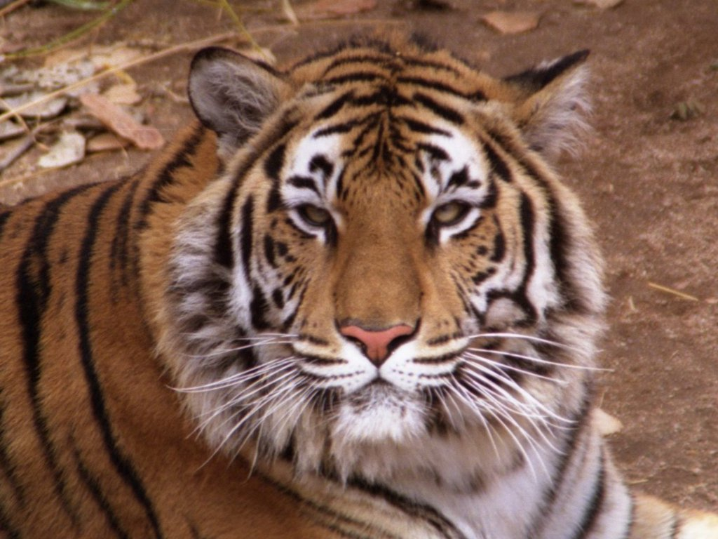 BENGAL TIGERS HD WALLPAPERS HD WALLPAPERS