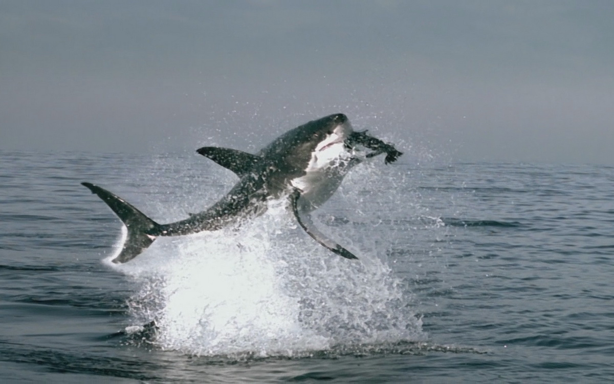 images of great white sharks - photo #15