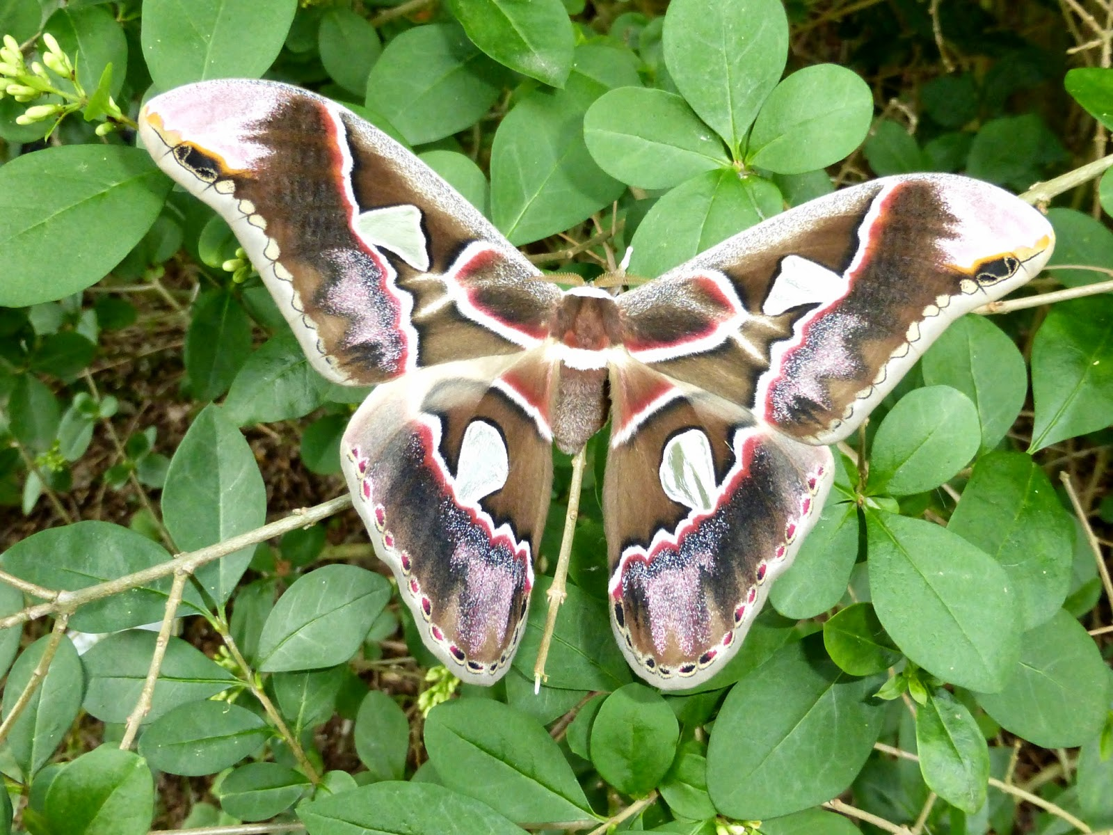Rothschildia lebeau female