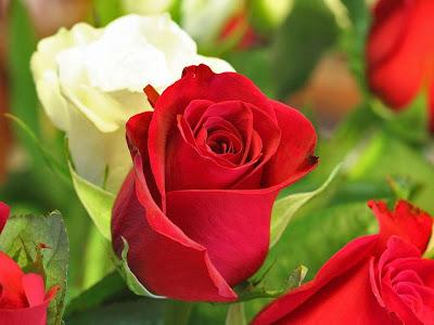 roses buy online