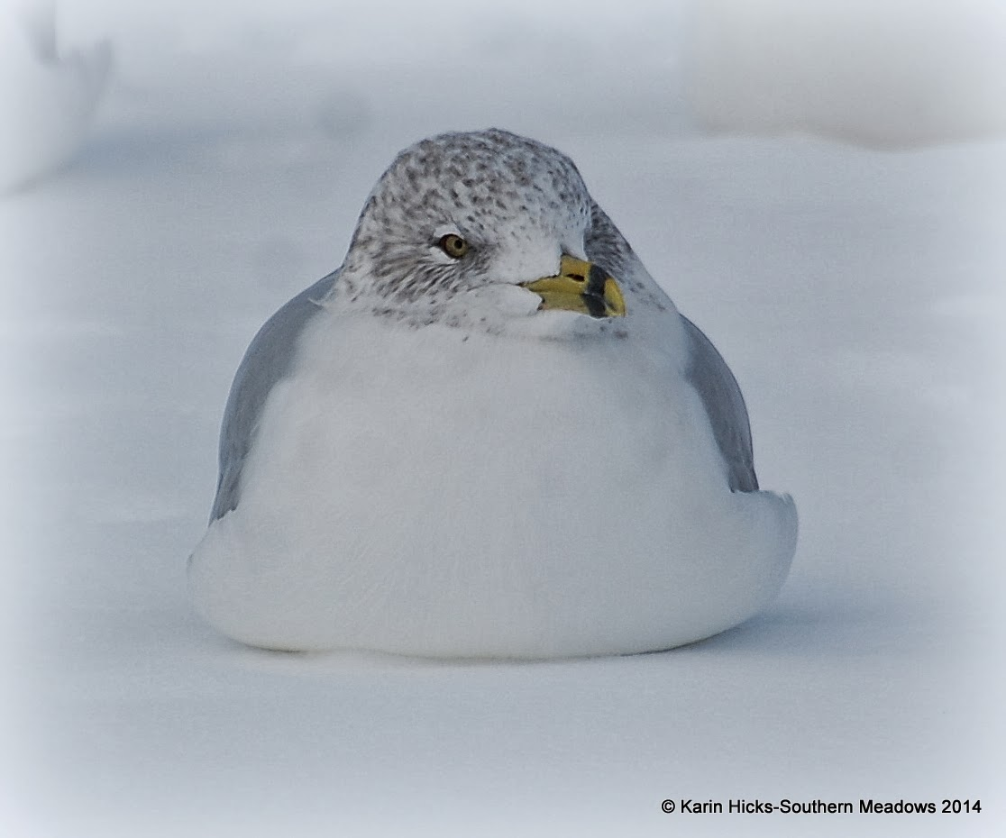 seagull fluffed up to keep warm in winter