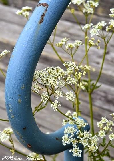 hundkex blomma