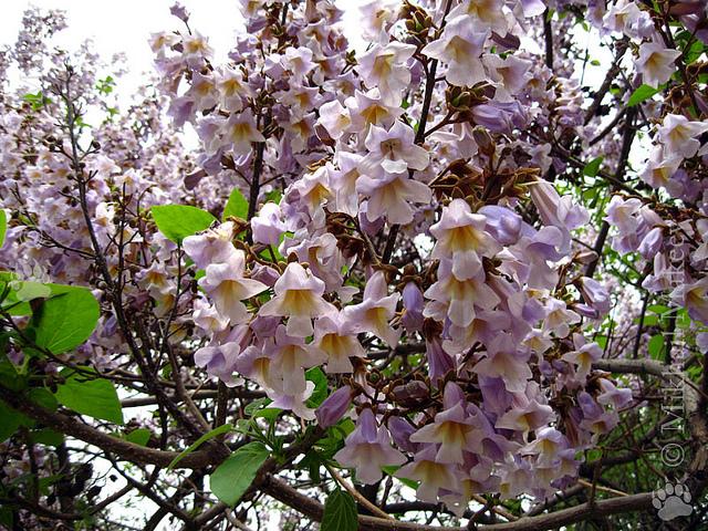 Seminte Si Plante De Gradina Hobby Arborele Printesei Paulownia