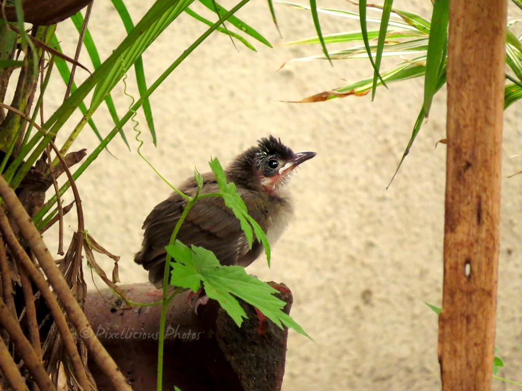 Baby Bulbul Out of the Nest