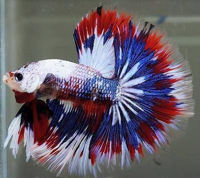 amazing pets half moon betta fish