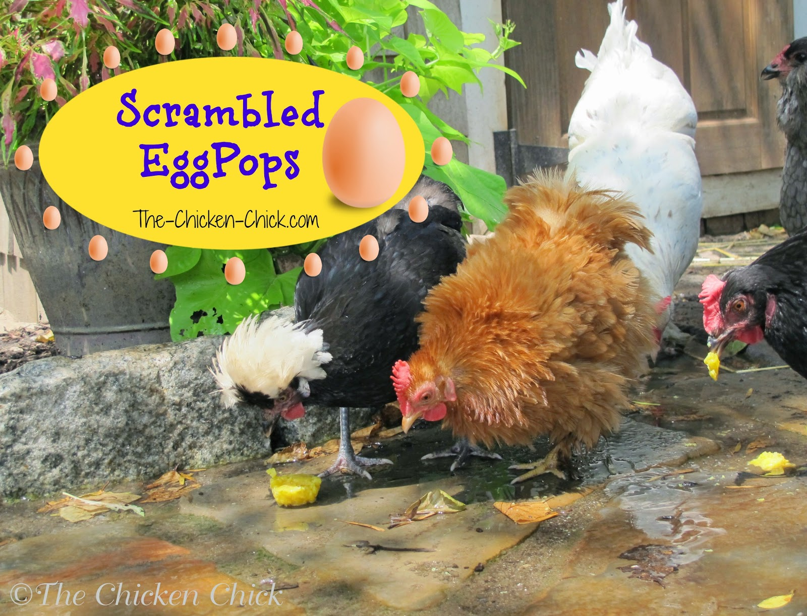 "This ""recipe"" to help chickens beat the heat will earn you credit toward your master's degree from Crazy Chicken Lady University. If your friends and family are not yet convinced that you have lost your chicken-lovin' mind, making Scrambled EggPops will do the trick!"