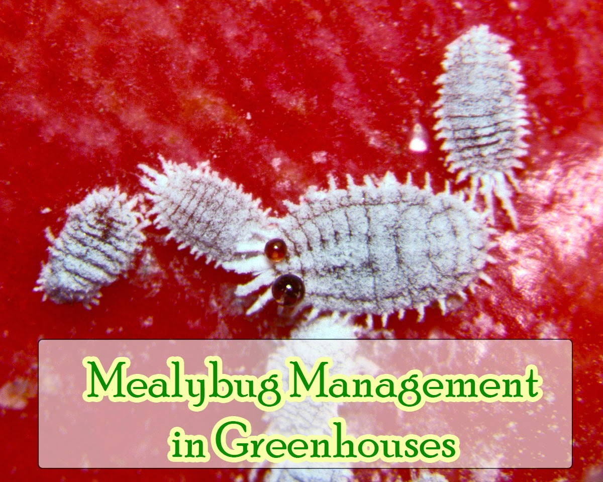 Mealybugs Management in Greenhouse
