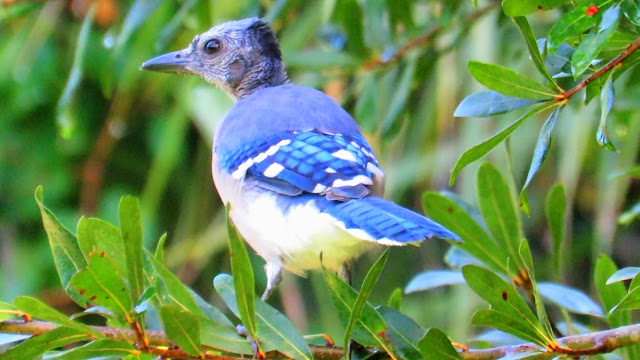 Bald Headed Blue Jay