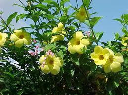 bunga alamanda | jual pohon alamanda