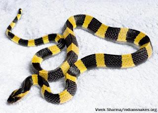धारीदार करैत (Bungarus fasciatus)
