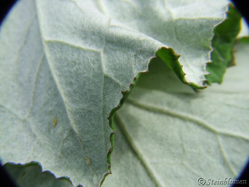 Huflattich Blätter