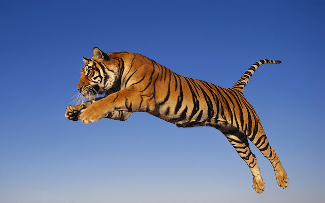 Spectacul aranimal wallpaper with a jumping and attacking tiger