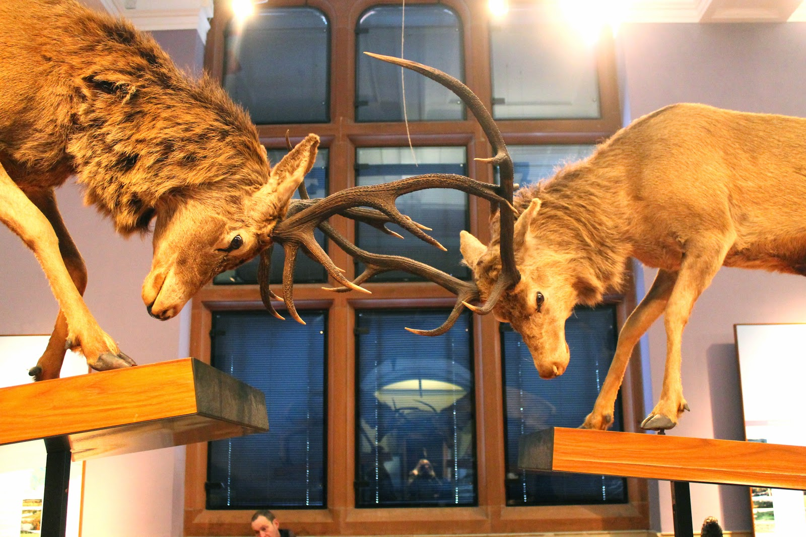 stags fighting taxidermy