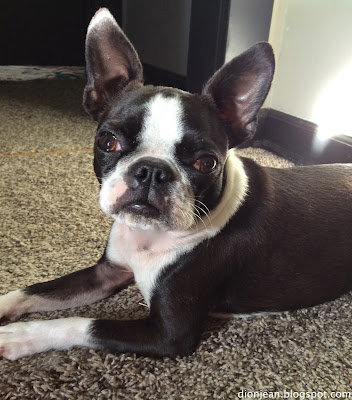 Sinead the Boston terrier knows how to lie down